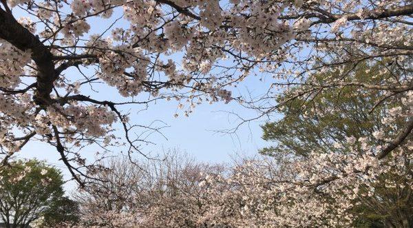 美しい桜に感謝!!サムネイル