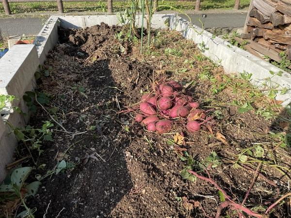 小さな畑で初めてのいもの収穫です!!サムネイル